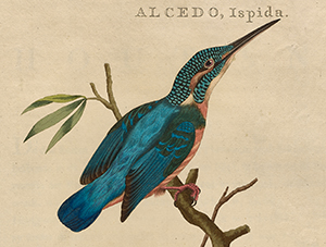 Ijsvogel uit Nederlandsche Vogelen
